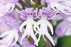 """Blumenarten Tiere aussehen """"Orchis Italica – nackte Männer"""""""