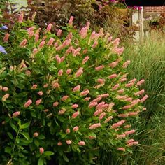Front or back. Ruby Spice Summersweet - Clethra alnifolia 'Ruby Spice'  Clethra Shrubs - Summersweet