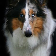 Those beautiful eyes! Rough collie. WOW beautiful!!!!!!