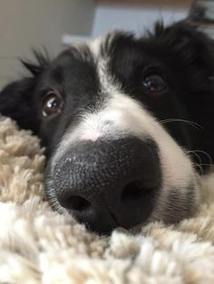 Astounding Border Collie Dog Tips Ideas I Love Dogs, Cute Dogs, Border Collie Colors, Dog Nose, Herding Dogs, Collie Dog, Foto Art, Dogs And Puppies, Doggies