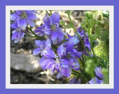.•:*¨¨*:•. *~* Lovely Larkspur Lilac King Seeds  *~* .•:*¨