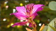 Gardening Australia - Fact Sheet: Hong Kong Orchid Tree - diam up to 6m