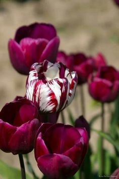 Dare to be different - tulips Purple Tulips, Tulips Flowers, Flowers Nature, Daffodils, Pretty Flowers, Spring Flowers, Roses, Carnations, Tulips Garden