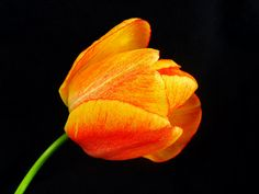 Tulip, brings sunshine in your house