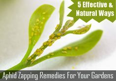5 Easy, Natural and Effective ways to rid your garden of Aphids. How to get rid of Aphids naturally!