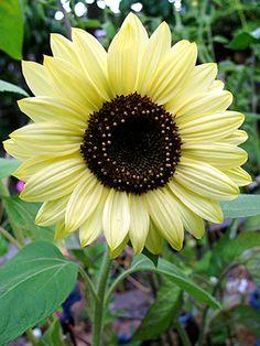 Sunflower 'Lemon Queen' - via Annie's Annuals