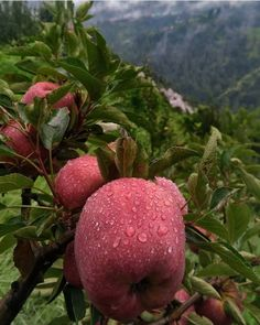 Landscape Photography, Nature Photography, Travel Photography, Indian Photography, Apple Fruit, Fruit And Veg, Interview Questions And Answers, Honeymoon Places, Apple Orchard