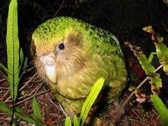 Kakapo-my favourite NZ bird!