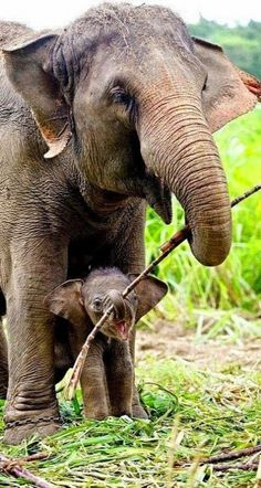 Mother Elephant helping her Baby Calf Carry a stick to play with, when they get home to rest (mamá elefante y su cría con un palo para jugar). Nature Animals, Animals And Pets, Wild Animals, Beautiful Creatures, Animals Beautiful, Beautiful Babies, Animal Kingdom, Kingdom 3, Cute Baby Animals