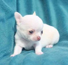 We have beautiful chihuahua puppies adoption. All puppies are dewormed, vaccinated by veterinary, microchip and health guarantee of 1 year.(231) 642-4361  (melongoemanuela@live.com) $0.00 USD