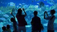 ACUARIO INBURSA es el más grande del país. Entre sus peceras y estanques se encuentran distribuidas 48 diferentes exhibiciones y aunque por su reciente apertura aún no están todas las especies marinas se prevé que llegarán a 230 especies diferentes con 3 mil ejemplares. Admira sus cocodrilos tiburones tortugas medusas rayas peces mariposa caballitos de mar corales y mucho más. http://ift.tt/1m3yoTN
