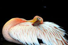 Pelican by floridapfe, via Flickr
