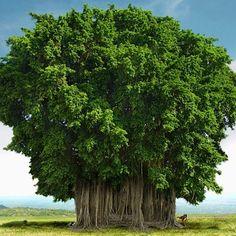 The Banyan Tree | Lahaina Banyan Court Park | Lahaina, Hawaii