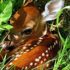 A newborn, spotted deer hiding in the underbrush.