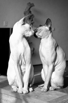 I don't like hairless cats, but this is pretty cute.