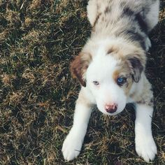 Nash, the cutest little red merle Australian shepherd puppy at 8 weeks old with two colored eyes