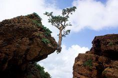 frankincense tree by Alexbip
