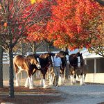 Clydesdales at Keeneland race track in Lexington KY.  They're not thoroughbreds, but can't beat this pic! Churchill Downs, Clydesdale, My Old Kentucky Home, Thoroughbred, 4th Anniversary, Us Travel, Future Travel, Cavalli, Places Ive Been