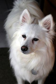 american eskimo dog    Like and repin please :)