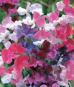 Sweet Dreams Mix Sweet Pea Seeds and Plants, Annual Flower Garden at Burpee.com Love the ruffled petals!