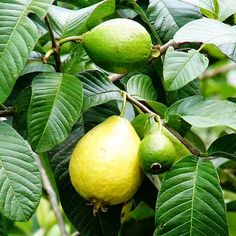 Small Business Ideas | List Of Small Business Ideas: How to Starting a Guava Farming Business