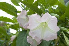 Pasuunakukka (brugmansia) Plant Leaves, Vegetables, Plants, Vegetable Recipes, Plant, Veggies, Planets