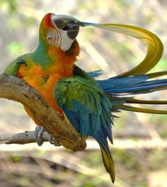 hybrid macaw preening his tailfeathers (photo by michael fitzsimmons)