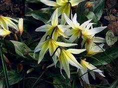 Erythronium multiscapideum 'Cliftonii'