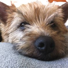cairn terrier Eddie