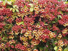 Bignonia capreolata 'Tangerine Beauty' and Bignonia capreolata (species form) by jonlindstrom, via Flickr