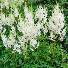 Spring Hill Nurseries in Bareroot Diamond Astilbe at Lowe's. Diamond Astilbe produce masses of white, feathery flower plumes with lacy deep green foliage. It is great for use in a perennial border or in shade or Lavender Flowers, Summer Flowers, White Flowers, Cut Flowers, Fall Plants, Garden Plants, Landscaping Plants, Indoor Garden, Long Blooming Perennials