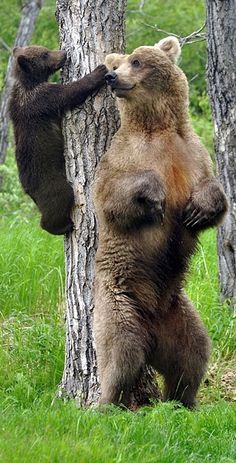 Grizzly bear cub climbed the tree to get his mom's nose