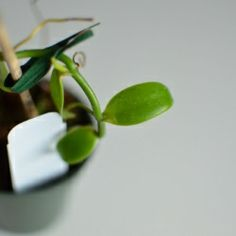 Growing a Vanilla Plant @Looksi Square @Amy Renea