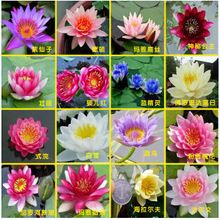 Hydroponiczne kwiaty small water lily nasiona mini lotus nasiona hydrofitów nasiona nasiona bonsai set-10 sztuk/paczka(China (Mainland))