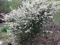 bright white in late winter as the Ceanothus verrucosus comes into flower. This is a gorgeous white wild lilac that requires no water once. Outdoor Plants, Garden Plants, California Native Garden, Front Yard Plants, Drought Tolerant Garden, Gardens Of The World, Low Maintenance Landscaping, Flowering Shrubs, Winter Garden