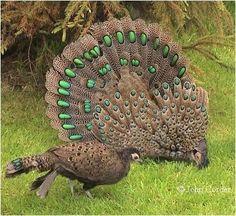 Malaysian Peacock Pheasant