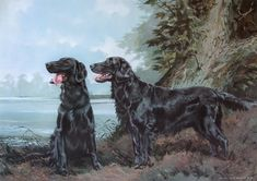 Flat Coated Retrievers Limited Edition Print by Canine Artist Vic Granger