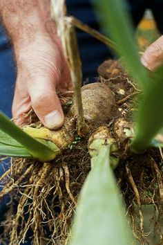 When and how to divide bulbs to create more plants: May or June for spring-flowering bulbs, the end of the summer for summer-flowering bulbs