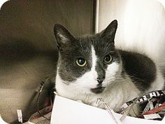 Media, PA - Domestic Shorthair. Meet Betty a Cat for Adoption.