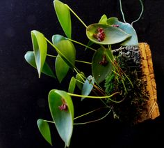 Pleurothallis nipterophylla - Orchid Forum by The Orchid Source