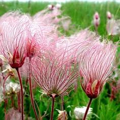 Prairie Smoke is an unusual wildflower from the Great Plains of the U.S. In spring, it blooms feathery pink blossoms about a foot tall. In autumn, they become fuzzy seed heads that resemble cotton can