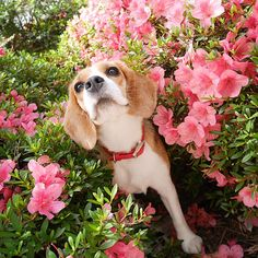 Beagle in the flower bed