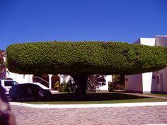 ) Giant Ficus