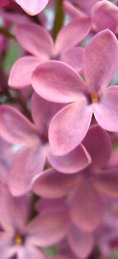 Pink Lilacs - Beautiful Flowers http://hmkh.com #flowers
