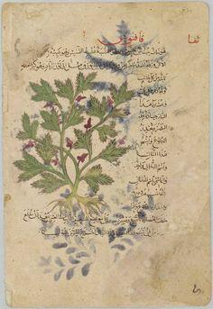 Fineleaf Fumitory, Folio from a manuscript of Khawa al-ashjar (De materia medica) by Dioscorides | Harvard Art Museums