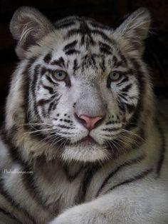 ~~White Tiger by Prabu dennaga~~