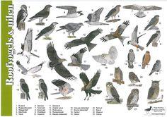 roofvogels-en-uilennieuw.jpg 2.338×1.653 pixels