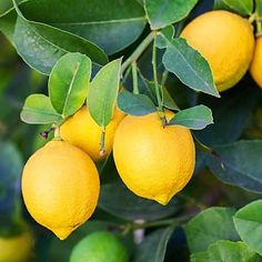 The botanical name for the lemon is Citrus limon. The trees are easy to grow and care for. Even the crushed leaves of the tree produce a sweet citrus scent.