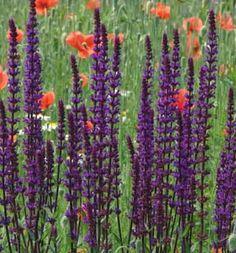 14 best lulus garden images on pinterest perennials garden latin name salvia nemorosa caradonna description perennial flower sun 24 mightylinksfo