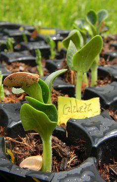 Germinación de semillas y traplante